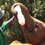 In Nairobi bezoeken de peetouders van weesolifantjes de opvang zelfs twee maal.