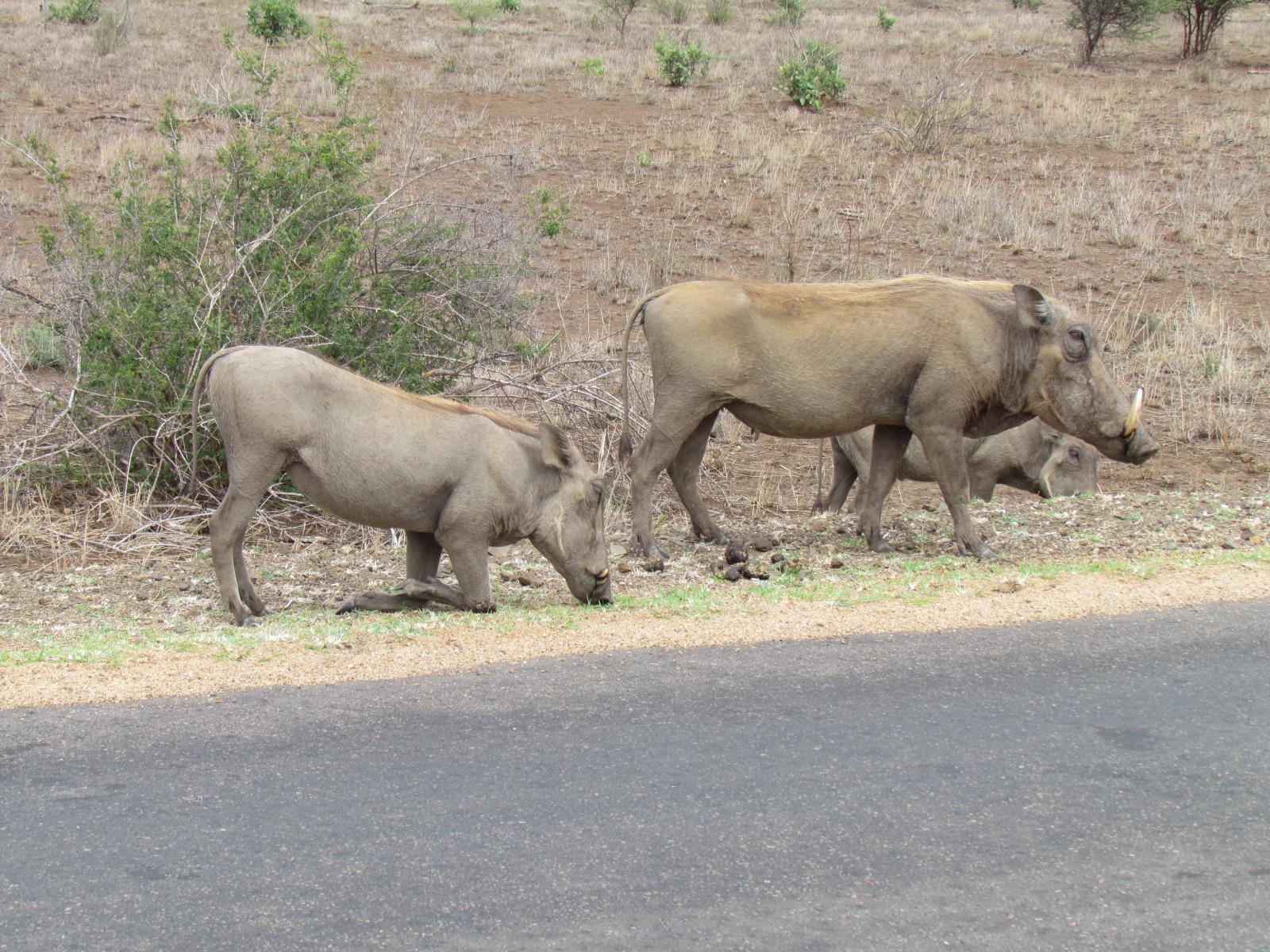 wrattenzwijnen grazen door de droogte vlak langs de weg