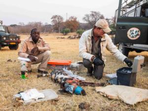 Wilde honden in Zimbabwe worden beschermd door het in 1992 opgerichte Painted Dog Conservation Project, dat zich tot doel stelt de Painted Dogs (Afrikaanse wilde honden) in Zimbabwe te beschermen.