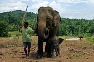 Sri Lankees met olifantP1040234